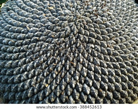 Close up top down view of dry sunflower with seeds