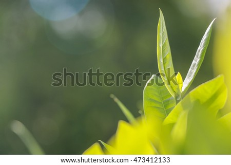 Close up top of Rubiaceae leaf with selective focus concept