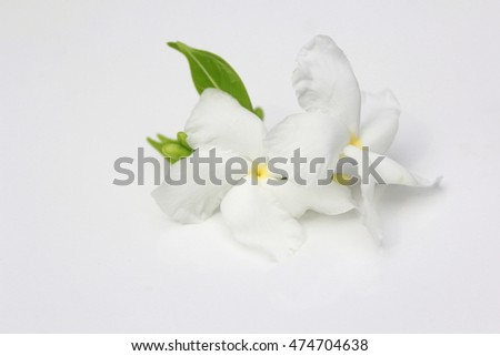 Close up top view of Ervatamia or Gardenia white flowers is blossom in the garden, it have 5 lobe..