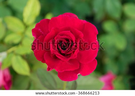 Close up Top view Red Rose flower