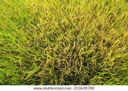 close-up top view rice fields  - stock photo