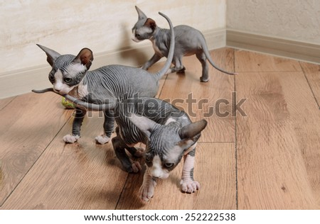 Close up Tree Little Gray Sphynx Kittens Standing on Wooden Floor at the Corner Inside the House - stock photo