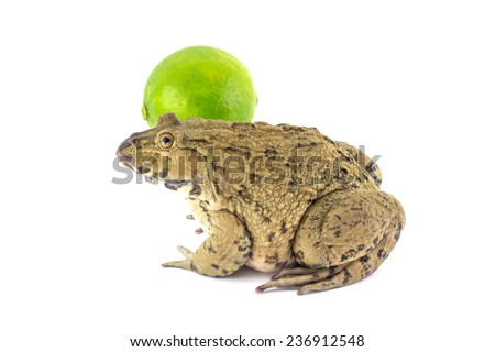 close-up Tropical Frog. on White background and lemon - stock photo