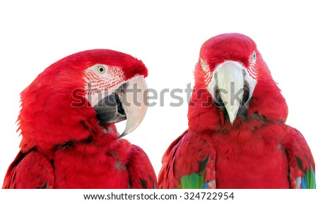 Close up two beautiful Scarlet Macaws parrot bird (Ara macao) against a white background. - stock photo