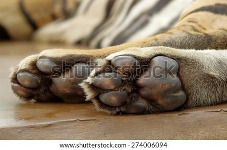 close up under tiger foot - stock photo