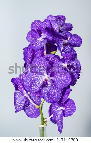 close-up Vanda Orchid Wanda - Queen of orchids, purple flower. Found in the tropics of India, Indonesia, the Philippines, southern China and Northern Australia. - stock photo