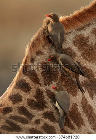 Close up vertical photo of Red-billed oxpeckers, Buphagus erythrorhynchus, ticks eating african birds on neck of giraffe, feeding on parasites.  - stock photo