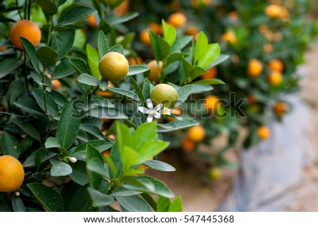 Close up Vibrant orange citrus fruits on a Kumquat tree. It' s the symbol of Vietnamese lunar new year. natural background