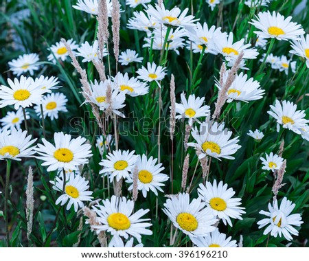 Close-up view a bush of white daisies in full bloom in front of a rustic old fence post in rural Sequim, Washington, USA. Daisy in the field, cottage garden. Nature flower background, summer concept. - stock photo