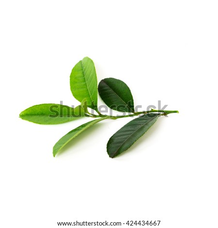 Close-up view a leafy branch of fresh green lemon leaves isolated on white background. Its freshly picked from home growth organic garden. Food concept