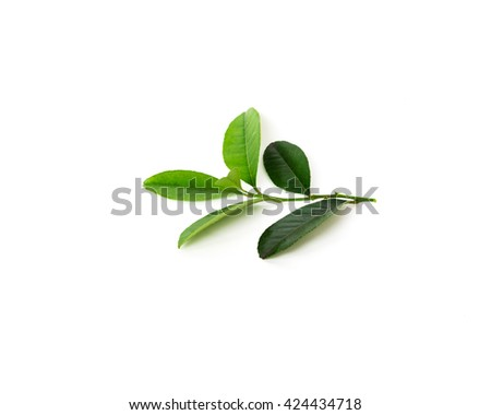Close-up view a leafy branch of fresh green lemon leaves isolated on white background. Its freshly picked from home growth organic garden. Food concept with copyspace.