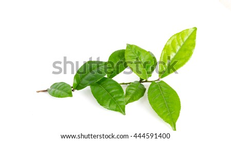 Close-up view a leafy branch of young fresh green tea leaves isolated on white background. Its freshly picked from home growth organic tea plantation. Food concept with clipping path and copy space.