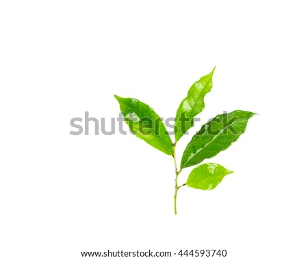 Close-up view a leafy branch of young fresh green tea leaves isolated on white background. Its freshly picked from home growth organic tea plantation. Food concept with clipping path and copy space. - stock photo