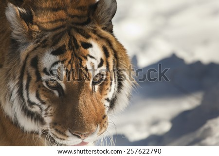 Close up view at the Siberian tiger - stock photo