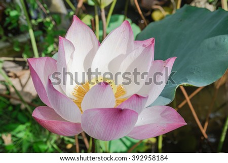Close-up view blooming pink lotus flower (or Nelumbo nucifera Gaertn, Nelumbonaceae, sacred lotus) cultivated in water garden. Lotus is national flower of India and Vietnam. Nature flower background. - stock photo