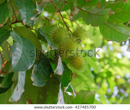 Close up view cluster of organic fresh green Rambutan (Nephelium lappaceum) on a tree branch in orchard at Singapore. Colorful tropical fruit in nature. Fruit plantation and agricultural concept. - stock photo