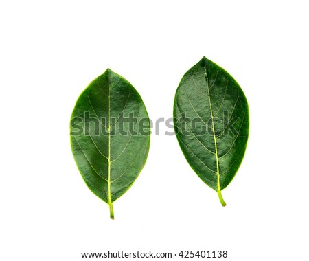 Close-up view collection of fresh green jack fruit leaves isolated on white background with copyspace