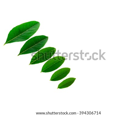Close-up view collection of fresh green young lemon leaves isolated on white background. Its freshly picked from home growth organic garden. Food concept with Copyspace.