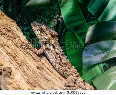 Close-up view of a Anole lizard (Anolis baracoae) on the tree, focus on eye, with shallow depth of field - stock photo