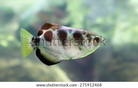 Close-up view of a Banded Archerfish (Toxotes jaculatrix) - stock photo
