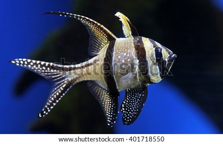 Close-up view of a Banggai cardinalfish (Pterapogon kauderni) - stock photo