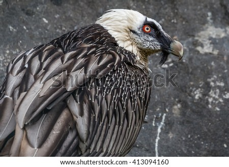 Close-up view of a Bearded vulture (Gypaetus barbatus) - stock photo