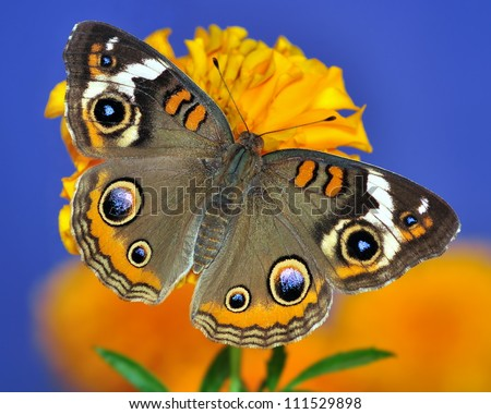 Close-up view of a beautiful Buckeye butterfly (Junonia coenia) on a garden marigold with blue sky in the background. - stock photo
