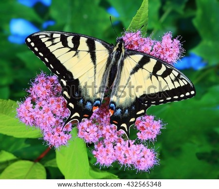 Close- up view of a beautiful female Eastern Tiger Swallowtail butterfly (Papilio glaucus) at pink spirea flowers. - stock photo