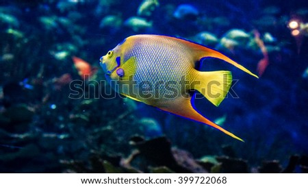 Close- up view of a beautiful Queen Angelfish (Holacanthus ciliaris).