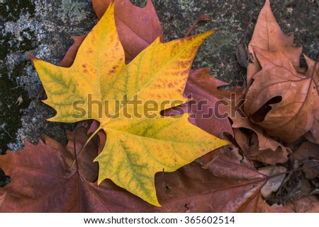 Close up view of a beautiful yellow autumn leaf. - stock photo