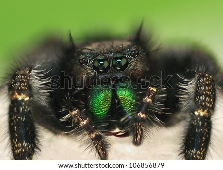 Close- up view of a Bold Jumping Spider (Phidippus audax).