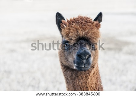 Close-up view of a brown alpaca with a winter field background - stock photo