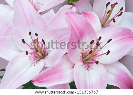 Close-up view of a bunch of bright pink and white Asiatic lilies on a delicate toning pastel background with a hint of shadow.