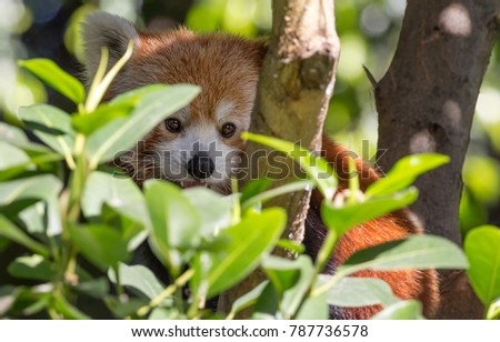 Close up view of a camouflaged Red Panda (Ailurus fulgens)