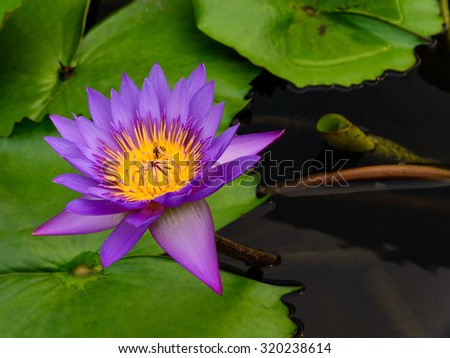 Close-up view of a colorful blooming purple water lily with bee is trying to keep nectar pollen from it. Beautiful floral background of violet lily/lotus - stock photo