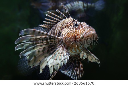 Close-up view of a common lionfish (Pterois miles) - stock photo