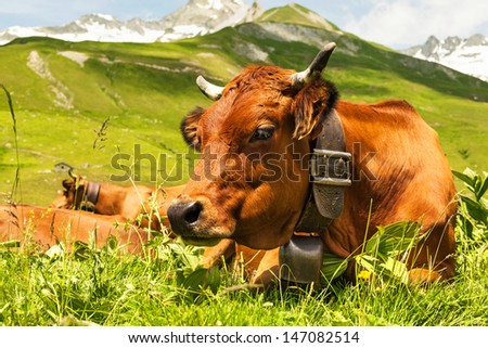 Close up view of a cow in an alpine meadow - stock photo