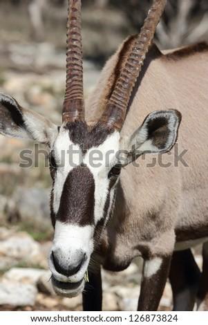 Close up view of a gemsbok, Oryx gazella looking at the camera - stock photo