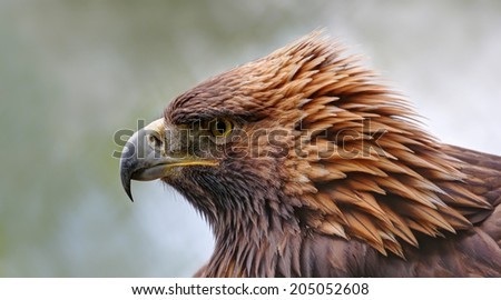 Close-up view of a Golden eagle (Aquila chrysaetos) - stock photo