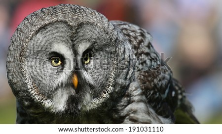 Close-up view of a Great Grey Owl (Strix nebulosa) - stock photo