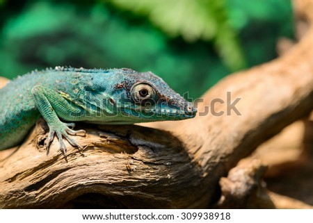 Close-up view of a Green Anole lizard (Anolis baracoae) on the tree, focus on eye, with shallow depth of field - stock photo