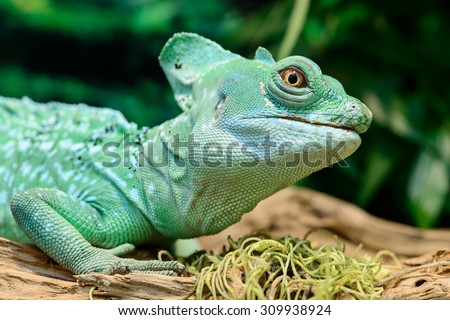 Close-up view of a green Plumed basilisk Lizard (Basiliscus plumifrons) on the tree, focus on eye, with shallow depth of field - stock photo