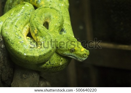 Close-up view of a green tree python in thailand (Morelia viridis)