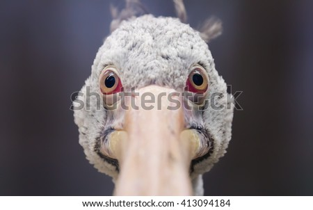 Close-up view of a grey pelican (Pelecanus philippensis) - stock photo