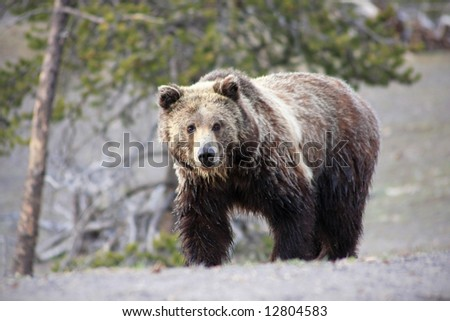 Close up view of a grizzly bear in Yellowstone National Park