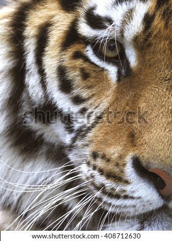 Close up view of a half of a tiger's face