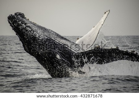 Close up view of a humpback whale breaching off the east coast of South Africa during the winter migration north to warmer waters. - stock photo