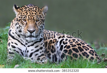 Close-up view of a Jaguar (Panthera onca) - stock photo
