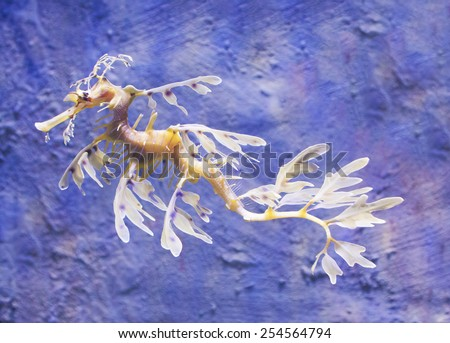 Close-up view of a Leafy Sea Dragon - stock photo