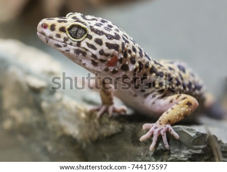 Close-up view of a Leopard gecko (Eublepharis macularius)